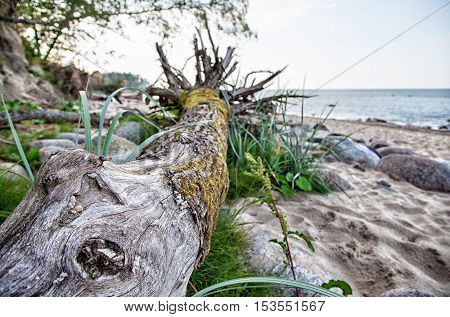 knotty driftwood on the beach on sunny summer day