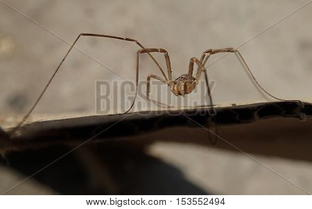 Arthropod with long legs on a cardboard
