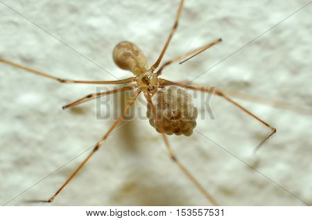 Female cellar spider carries her eggs in Mandibles