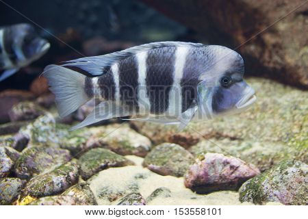 Close Up On Tropical Cyphotilapia Frontosa Fish