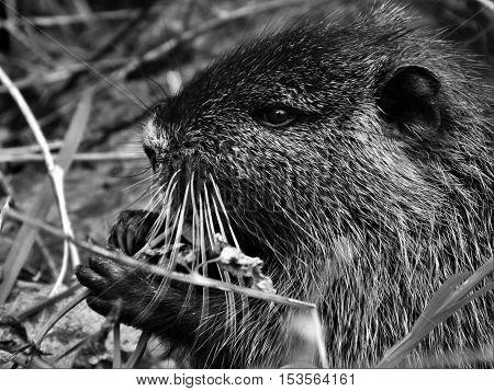 Nutria, coypu young, beautiful and pretty nutria, gray nutria, nutria eating grass.
