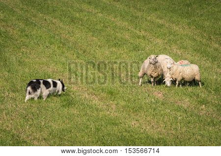 Walk Up of Herding Dog to Group of Sheep (Ovis aries) - at sheep dog herding trials