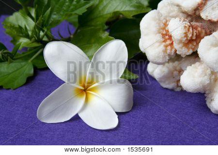 Plumeria And Coral