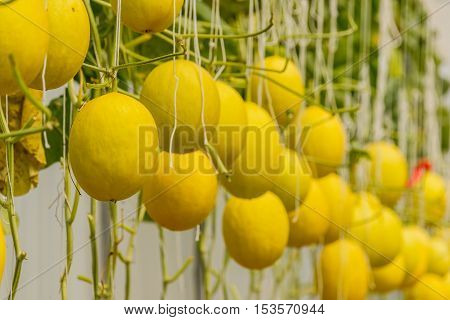 Yellow Cantaloupe melon growing in a greenhouse.