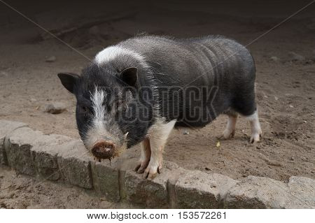 Pot bellied pig at a local farm