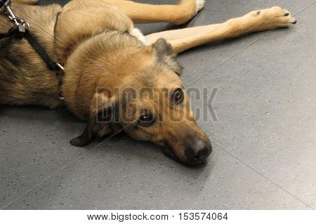German shepherd domestic dog aka Canis lupus familiaris mammal animal lying on the ground