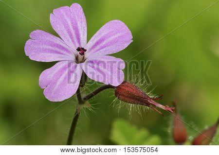 Herb-robert - Geranium robertianum Flower & pod closeup