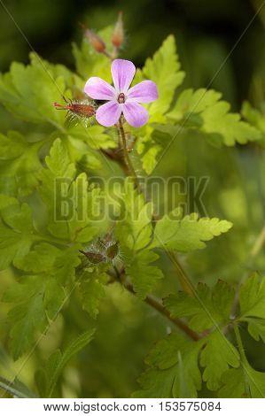 Herb-robert - Geranium robertianum  Small ping flower