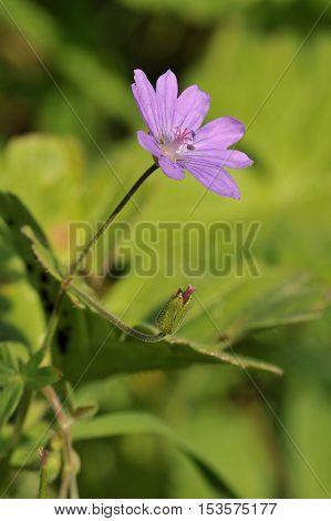 Hedgerow Crane's-bill - Geranium pyrenaicum  Hedgerow Cranesbill -  Geranium pyrenaicum Small pink flower