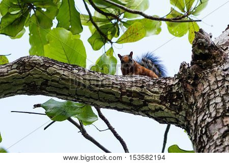 Tropical Brown Squirrel