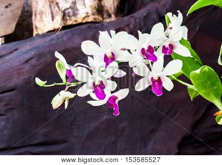 Sweet Orchid flower color at the garden with stone background