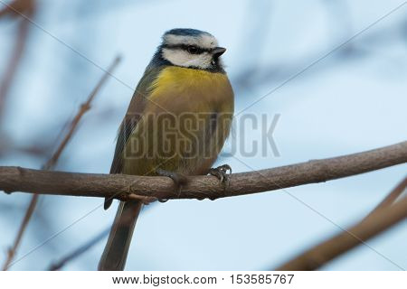 Blue tit sitting on a tree branch