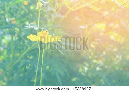 Soft blur abstract background with of cosmos flowers in the garden. Pastel color tone.