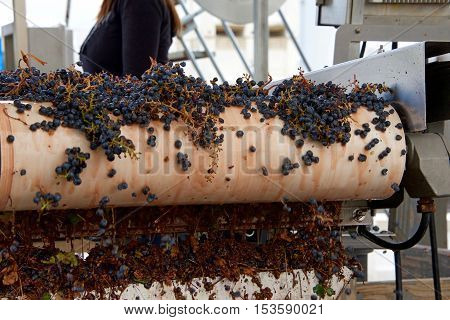 Grapes on conveyer Belt. modern winery sorting purple grapes for making wine on a conveyor belt before they head to the crusher in Napa Valley