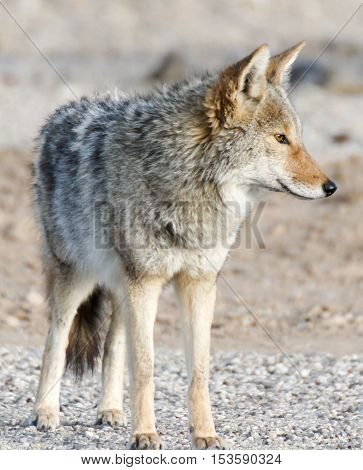 Coyote (Canis latrans) portrait in the morning desert