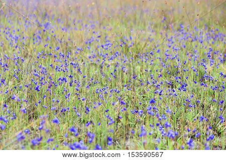 Dusita(Utricularia. delphinioides) and meadows at Thung Non Son in Thung Salaeng Luang National Park,Phitsanulok,Thailand