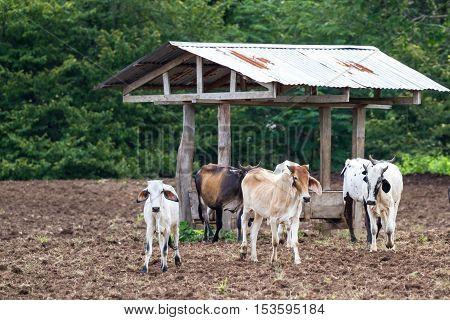 Brahman Cattle In Costa Rica