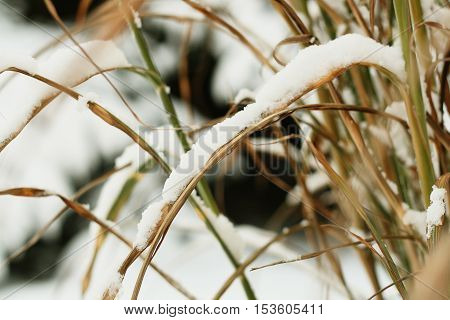 Photography of a reed cowered with snow