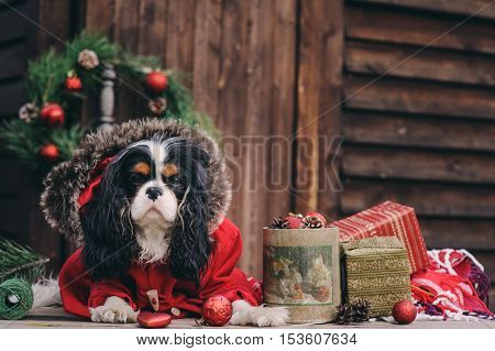 cute Christmas dog with gifts and decorations on rustic wooden background. Cavalier king charles spaniel celebrating New Year