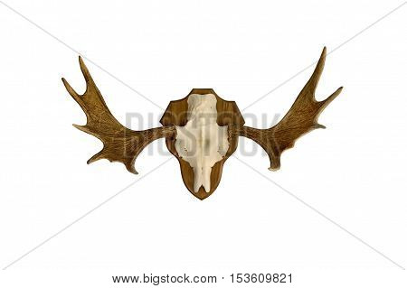 Horned moose skull as hunting trophy, isolated.