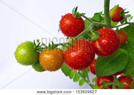 Ripening cherry tomatoes with water-drops in greenhouse.