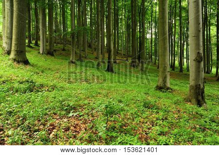 Beautiful spring forest with beech trees and green plants