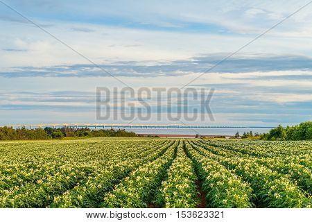 Rows of potato plants in a potato field with the Confederation Bridge in the distant background (Prince Edward Island Canada)