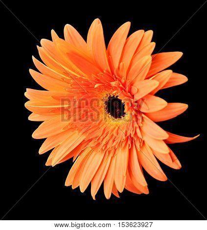 Beautiful gerbera flower on black background