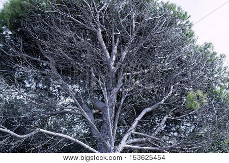 big vertex or top of an old coniferous tree for a natural background