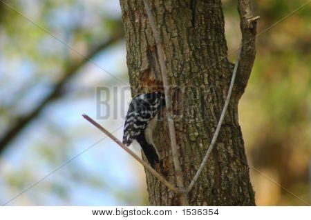 Downy Woodpeckerdsc_0072