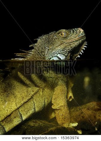 Green Iguana in water (Iguana iguana)