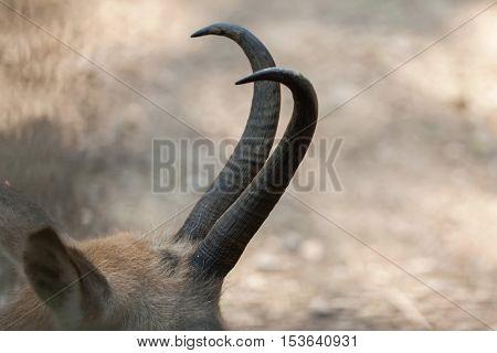 Horns of Alpine chamois (Rupicapra rupicapra rupicapra). Wildlife animal.