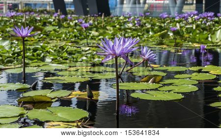 MARINA BAY, SINGAPORE-SEPTEMBER 15,2016: Nelumbo Nucifera or simply Lotus(Lily) is one of the tourist attractions with beautiful architectural of lily pond.
