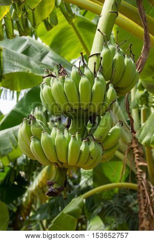 Banana tree and fruit in Nakhon Pathom Province of Thailand