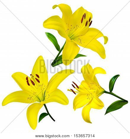 lily flowers isolated. lily flowers. lily flowers isolated on white background.lily. yellow lilies
