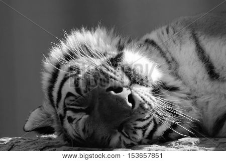 Black and white face of an adult tiger sleeping peacefully