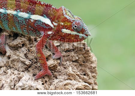 Lizard, chameleon panther stepping gently above the dry wood