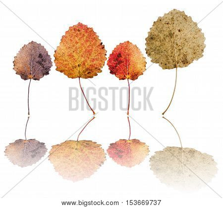 Leaves of European aspen (Populus tremula) isolated on white background