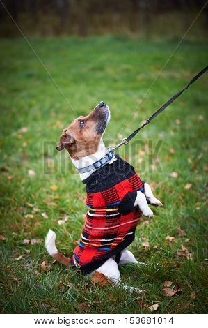 jack russell terrier dog in park looking up ready to play