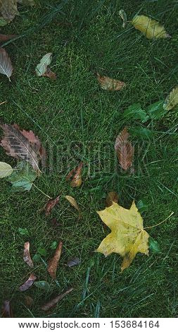 Leaves on the grass,  leaves on the ground,  falling leaves, maple tree leaves