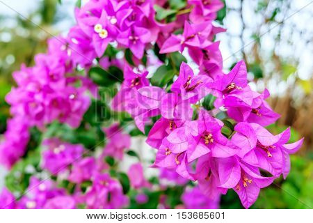 Fragrant pink Bougainvillea spectabilis flower with blurred evening background. Botanical photography.