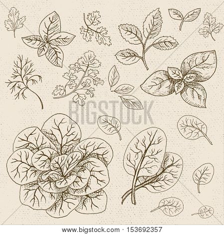 Set of chalk sketch hand drawn, in sketch style, food and spices, old paper textured background. Green set leaves, spinach, bunch of spinach, mint, parsley, dill, bay leaf. Hand drawn vector illustration.