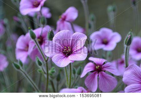 Gorgeous purple flowering geranium flowers in a lush garden.