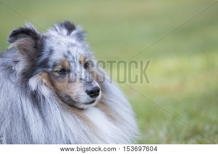 Headshot of a Shetland Sheepdog, Sheltie, close up