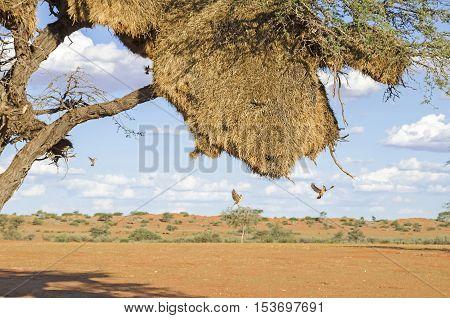 Apartment-house nest of weaver birds with many flying weavers in Kalahari desert in Namibia.