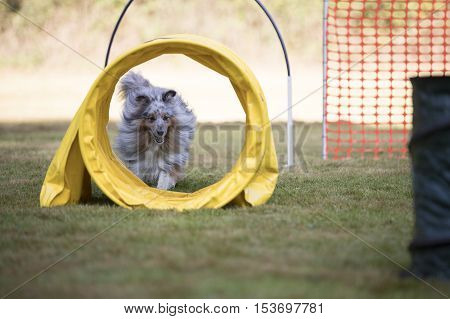 Dog, Shetland Sheepdog Sheltie with agility tunnel