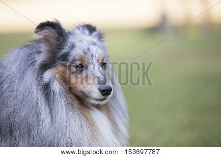 Headshot, close up, of a Shetland Sheepdog Sheltie