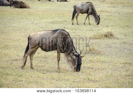 Blue wildebeests or brindled gnu (Connochaetes taurinus) in Ngorongoro Crater Tanzania