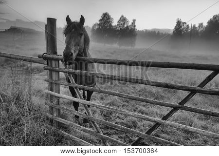 Black and white photo of beautiful horse is standing in foggy paddock