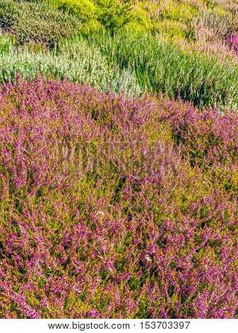 Field of colorful heather flowers